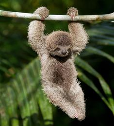 Joyful Brown-throated Three-toed Sloth hanging in the wild rainforest 🍃 🌴 North of Punta Banco, Costa Rica. Happy Animals, Cute Baby Animals, Animals And Pets, Funny Animals, Wild Animals, Strange Animals, Animals Images, Nature Animals, Fun Facts About Sloths
