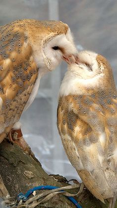 "Barn Owls: ♪ ♫ ""Owl you need is love; love is owl you need! Beautiful Owl, Animals Beautiful, Cute Animals, Wild Animals, Pretty Birds, Love Birds, Rapace Diurne, Owl Bird, Tier Fotos"