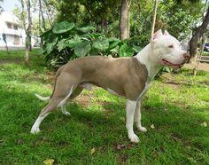 Cachorros American Pitbull Terrier Blue Fawn Y White Blue Fawn Pitbull, White Pitbull, Blue Nose Pitbull, Terrier Dogs, Pitbull Terrier, Terriers, Pit Bulls, Pitbull Breeders, American Pitbull