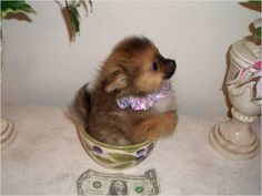 Pocket puppy. So cute!!!