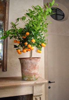 Orange tree in terra cotta pot