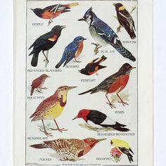 vintage bird print- bird illustration color plate