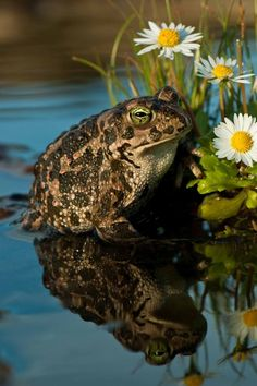 My garden is ruled by a rather aggressive toad who lives under an old broken terra cotta pot. About the size of my fist, he will actually jump out at intruders, nudging his victims along with his nose, and terrorizing the cats, who are kind of freaked out by him. I've grown terribly fond of the brave old fellow, who comes out to dine on a few moths and mosquitoes every evening. He's pretty cool.   ~~ Houston Foodlovers Book Club