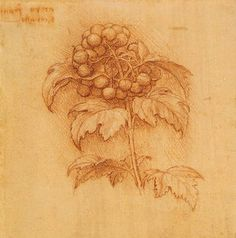 Leonardo da Vinci - Drawings - Plants - 14.jpg