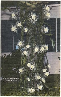 Night blooming cereus, Florida