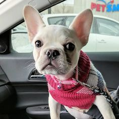Isn't he ? Source: @minkathefrenchie tag @puppycollective to get featured on our page! #puppycollective #photooftheday #doggy #doglovers #instapuppy #dogsofinstaworld #dogoftheday #puppypalace #ilovemydog #lovepuppies #petsofinstagram #puppyface #puppydog #puppiesofinstagram #dogsofinstagram #puppies #cute #pitbull #puppyoftheday #puppylove #instagramdogs #petsagram #dogofinstagram #hound #lovedogs #instadog #doglove #pet #instagood #eyes