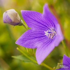 Sometimes called Chinese bellflower, perennial balloon flower comes in varieties that range in height from dwarf to several feet. Easy to grow, the plant gets its name from the flower buds, which resemble a balloon before opening up. Its most recognized -- and oft-used -- color is a rich purple-blue, but varieties of this beautiful flower can be found in both pink and white./