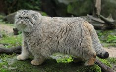 The Pallas cat (Otocolobus manul) is a wild cat of Central Asia. It reaches about 65 cm [26 inches], with a tail with half its size. It seems larger because of its thick fur, which is even longer in winter and changes color depending on the season. It feeds on birds and small mammals such as squirrels, marmots and rats. It is threatened with extinction due to scarcity of food that increases because their prey are poisoned and the devastation of their habitat to agriculture.