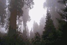 Long Meadow Grove © USDA Forest Service-Sequoia National Forest und The Giant Sequoia National Monument  [Long Meadow Grove © USDA Forest Service] Dies sind die Wälder, die zum Sequoia National Park verbunden sind und die auch durch das Naturschutz-System der USA geschützt sind. Hier ist der umfangreichste und am wenigsten besuchten Riesenmammutbaum-Wald. Da einige Bereiche im 19. Jahrhundert besonders stark abgeholzt wurden, bestehen sie nur aus jungen Bäumen von etwa hundert Jahren und…