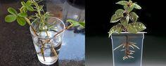 Enraizamento de estacas na água - Sabe quando você coloca as flores num vaso ou deixa o tempero num copo com água para não murchar e depois de alguns dias percebe que eles criaram raízes? Pois é, algumas espécies enraízam facilmente na água e assim você só tem o trabalho de transplantar para um substrato adequado quando tem certe... - http://www.checkcheque.com.br/ecoblog/2015/01/19/enraizamento-de-estacas-na-agua/