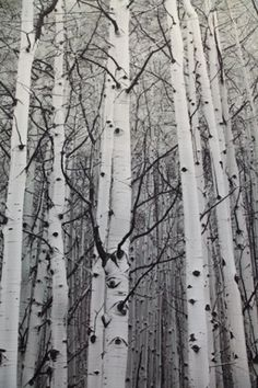 birchtree Birch Tree Art, White Birch Trees, Birch Forest, Birch Bark, Tree Photography, Landscape Photography, Image Nature, Aspen Trees, Nature Tree