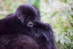 Travel, Mountain Gorilla, Uganda, Primate, Ape #travel, #mountaingorilla, #uganda, #primate, #ape