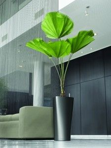 Cool dracaena plants in silver cubico lechuza planters great for low lighting office plants - Cool office plants ...