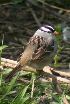 White-crowned Sparrow (photo by Dennis Kuecherer)