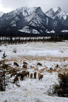 Bighorn sheep in Jasper National Park, Alberta, by Shreyans Bhansali