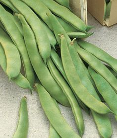Heirloom Romano Pole is a classic Italian flat type bean which has distinctive, full flavor and very heavy yields. Vines are loaded with long, stringless, flat-podded green beans right up to frost. Delicious fresh pole beans yield much longer than bush beans.