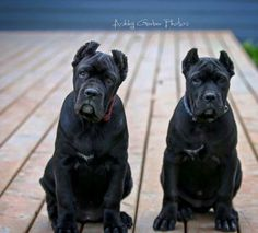 "From "" Royal Cane Corso "" The double trouble sisters."