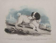 Sancho, the original french poodle
