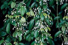Holboellia coriacea / RHS Gardening Climbing evergreen, sun-part shade