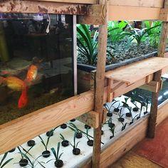 #aquaponics #farm inside #karoocafe restaurant #permaculture