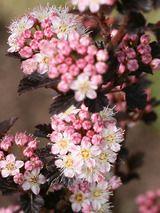 Physocarpus Tiny Wine