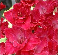 ":: gladiolus ""la jolla"""