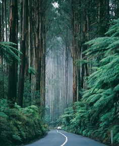 The Black Spur Drive - Victoria, Australia. Home to the world's tallest flowering trees – the eucalyptus regnans, or Mountain Ash.