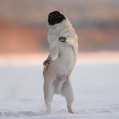 If You Feel Unhappy Right Now Simply Look At This Pug Dancing On The Snow Kindly Follow Us Tag Your Friends To Share Your Happines Pugs Funny Pugs Cute Pugs
