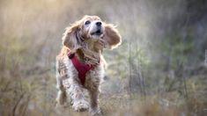 Pies, Biegnący, Cocker spaniel angielski, Szelki, Rozmyta, Łąka