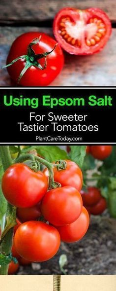 Hydroponics Gardening Using magnesium sulfate - epsom salt and tomato plants is known for providing wonderful benefits for tomatoes functioning as a plant fertilizer [LEARN MORE] Tomato Fertilizer, Fertilizer For Plants, Hydroponic Gardening, Hydroponics, Aquaponics System, Container Gardening, Herb Gardening, Container Plants, Vegetable Garden Fertilizer