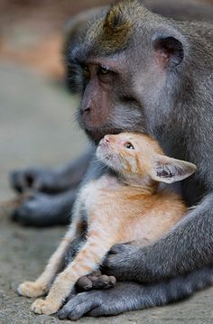 macaque-monkey-adopted-a-kitten-in-bali-indonesia-2