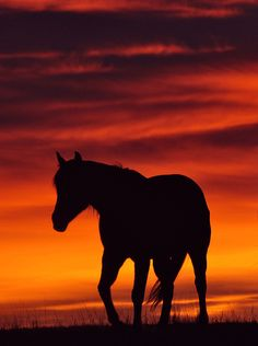 Lone Horse Silhouette in Sunset All The Pretty Horses, Beautiful Horses, Animals Beautiful, Painted Horses, Cavalo Wallpaper, Art Actuel, Horse Silhouette, Horse Drawings, Animal Wallpaper