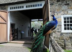 A peacock suns itself on a fence as visitors walk through the barn during Pennsbury Manor's annual sheep shearing on Sunday afternoon.