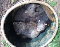WPSで保護されているウォンバットの子供たち野生ウォンバットの森からやってくる日本の紙原料