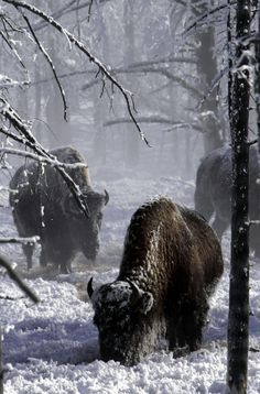 Bison at Yellowstone National Park in the snow Beautiful Creatures, Animals Beautiful, Cute Animals, Photo Animaliere, American Bison, American Coins, All Nature, Mundo Animal, Tier Fotos