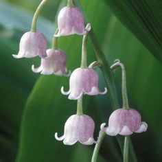 Flickr-Lily-of-the-Valley-rosea-Thompson-&-Morgan