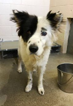 Adopted ❤️CLAYTON COUNTY, GEORGIA **BLIND SWEET SENIO* SAMMY-ID #162879 BORDER COLLIE MIX I've Been At This  I Became Available For Adoption Or Foster September 29, 2016. I'm A Very Friendly & Docile Couch Potato. I'm Really Not Aware That I'm Blind Because Sight Is Not A Dogs Primary Sense https://www.facebook.com/photo.php?fbid=1772127599726984&set=pcb.1772128669726877&type=3&theater