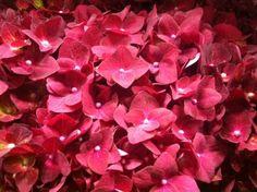 Hydrangea Fabulous Splash www. Hydrangea Macrophylla, Plants, Hydrangeas, Plant, Planets, Hydrangea