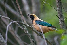 Tangara cayana é uma ave passeriforme da família Thraupidae. Também é conhecida popularmente pelos nome sanhaço-caboclo,mede aproximadamente 14 cm de comprimento. Possui plumagem de coloração amarelo-prateado e uma notável máscara negra, a qual é diferente em algumas subespécies ou raças.
