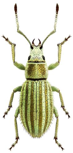Eusomidius angustus