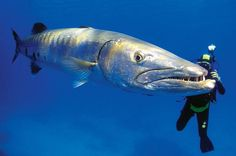The Great Barracuda Fish | Barracuda picture: a diver with a barracuda, for a gallery on ...