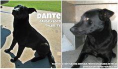 SMITH COUNTY HOLDING FACILITY TYLER, TX  Dante Cause #6570 Lab Mix - Male - 2 years - 55lbs  Tag by *Tuesday* April 8th Pickup will be *Wednesday* April 9th at 10:30 AM.
