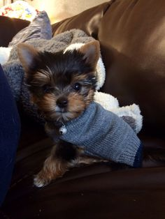Yorkie puppy Snickers!
