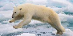 Kutup ayıları iklim değişikliğiyle mücadele ediyor – İngilizce çeviri notları