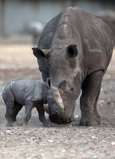It's all smooches and snuggles for this newborn white rhino at the Ramat Gan Safari #aww #cuteanimals #wildlife