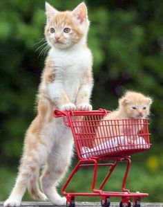 Orphan kitten pushes his stepbrother around in a tiny kitten-sized shopping cart