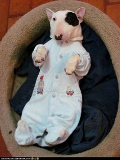 Bull terrier puppy ready for bed