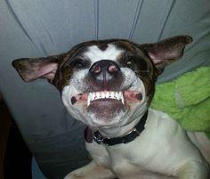 Cute Pitbull Puppies