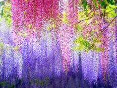 目を奪われるほど美しい!藤の花の名所「河内藤園」の藤棚が幻想的すぎる