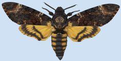 Acherontia Atropos male